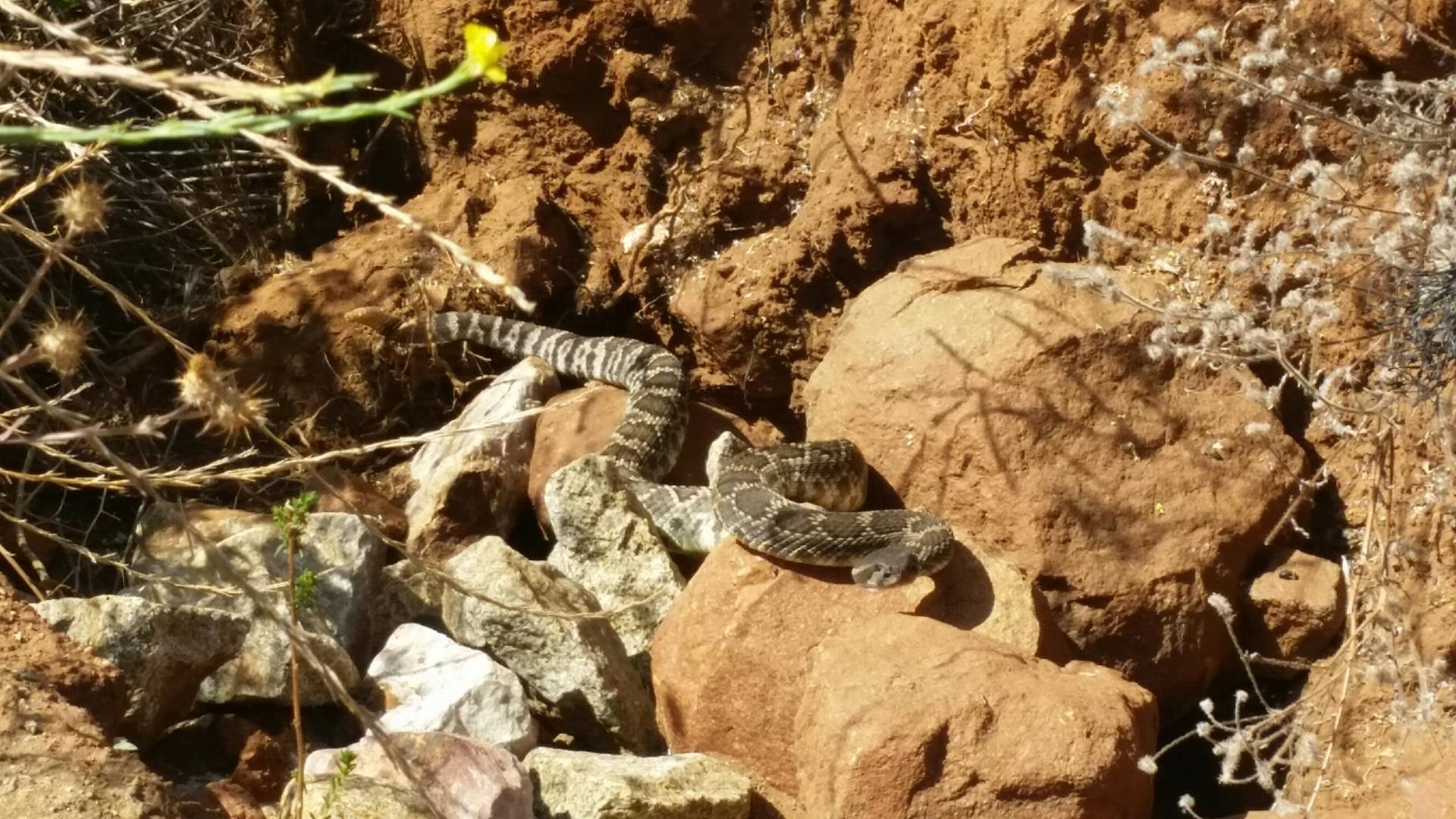Snake found on San Marcos trails